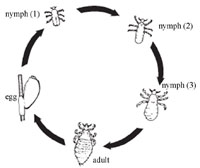Pubic Lice Life Cycle